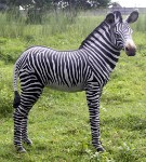 Life Size Zebra Foal Resin Prop Display
