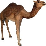 Life Size Female Camel