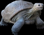 Life Size Galapagos Tortoise Turtle 5' Statue